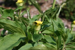 Arisaema plant
