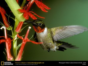 ruby-throated-hummingbird-hummingbirds